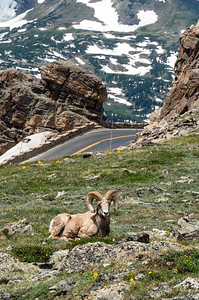 Can't get more Colorado than the state animal on Trailridge road