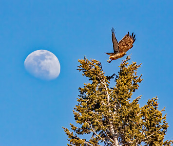 Red tailed Hawk and Moon