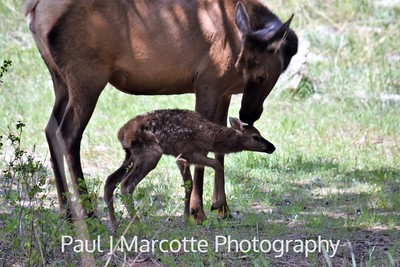New born elk bath