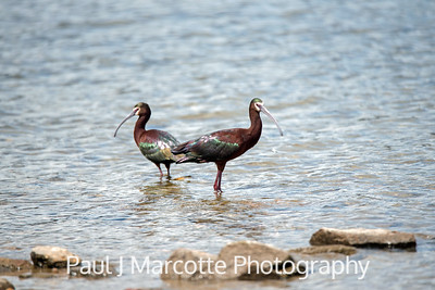 White faced ibis in Estes park