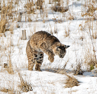 Estes Park Bobcat on the hunt