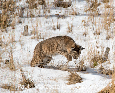 Estes Park Bobcat pouncing on lunch