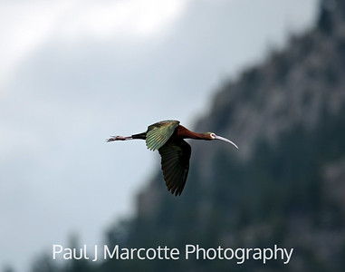 "White faced ibis flying over Mary""s lake"