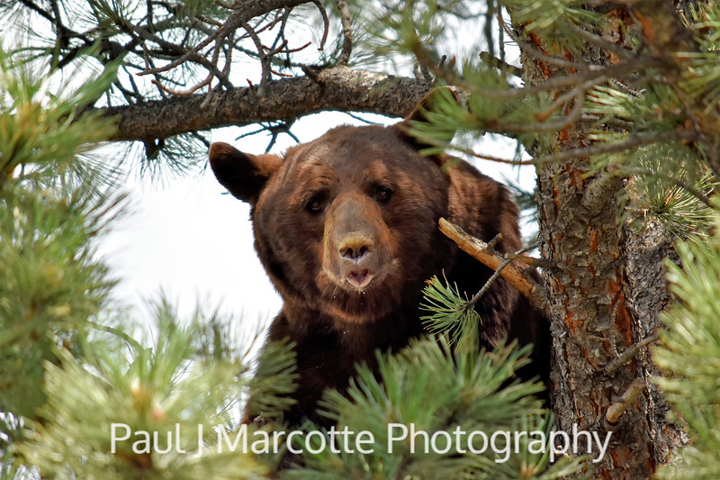 Big cinnamon bear