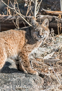 Estes Park Bobcat close up