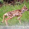 Gangly minutes old newborn deer  in Estes park Colorado