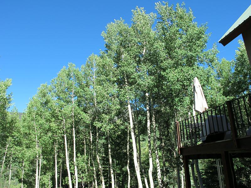 Lots of wonderful aspen trees surround Jerrie's property.