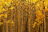 A wall of Aspens in fall.