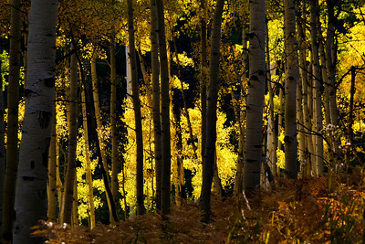 Aspens In fall: Carbondale, CO