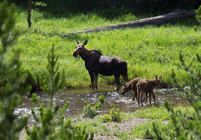 Cow and her 2 calves crossing the Colorado River in RMNP.