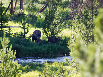 Cow moose and her calf near the Colorado River in RMNP.