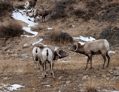 BigHorn Sheep - Georgetown