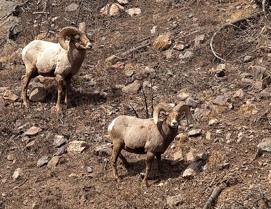 Silver Plume Bighorn Rams, April 2010.