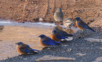 Watering hole.  Western bluebirds.