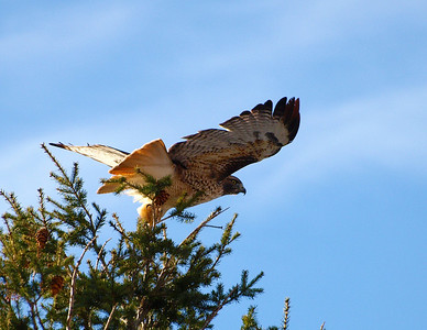 Red tail hawk taking off from the top of the pine tree.