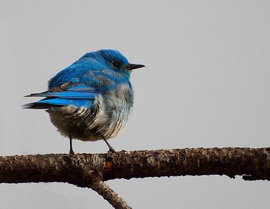 Bluebird - Male