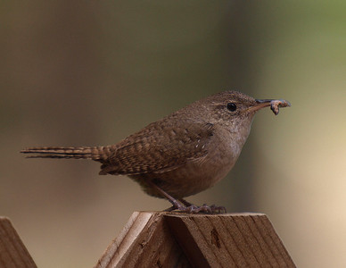 Brown Wren getting ready to feed her babies.