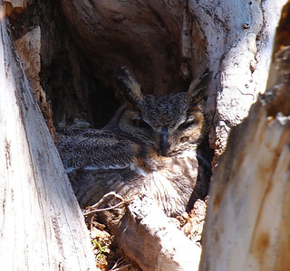 Momma Owl sitting in her nest.  April 21, 2012