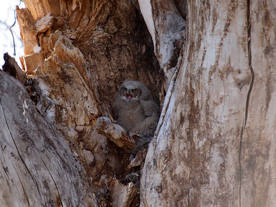 Baby great horned owl at Chatfield State Park Reservoir in South Denver.