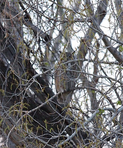 Moma great horned owl at Chatfield State Park Reservoir in South Denver.
