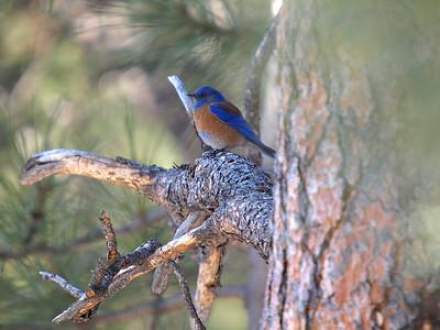 Western Bluebird - Male