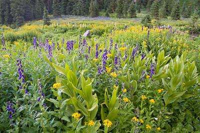 August Wildflowers, Lower Blue Lakes Basin Sneffels Wilderness, San Juan Mtns.
