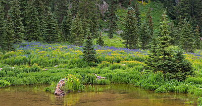Wildflowers, Lower Blue Lake Sneffels Wilderness, San Juan Mountains 3 image stitch