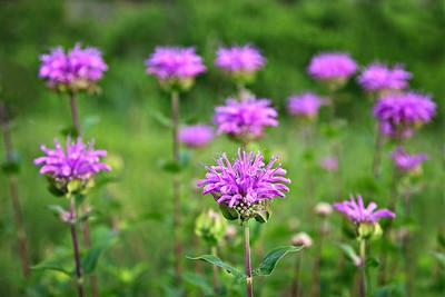 Wild Bergamont / Bee Balm Homestead Trail, Flatirons, Colorado