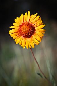 Blanket Flower Homestead Trail, Flatirons, Colorado