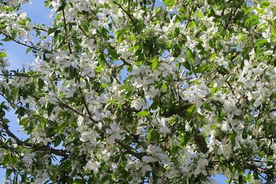 Blossoms at Cathay!
