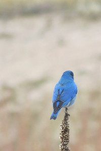 Colorado Bluebird  showing off the tail feathers!