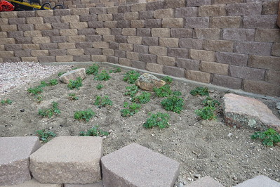 """Colorado columbine patch! This garden was started from a packet of seeds obtained from our son and daughter-in-law!They got it at the Home and Garden Show in Denver as a """"free gift""""!  Thank You! :-)"""