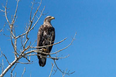 Immature bald eagle.