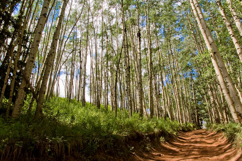 An Aspen grove lines the red-clay road up to the Capital Creek Trailhead in the Maroon Bells National Wilderness Area of Colorado.
