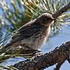 Mountain bluebird juvie