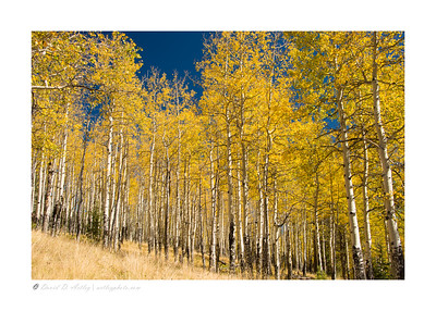 Aspens in Autumn colors, Mueller State Park, CO
