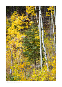 Autumn Aspen and Pine, Sundance Mountain-Palmer Lake Reservoir Loop, CO