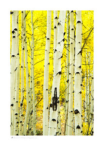 Aspen trees in autumn, Conejos Canyon, CO