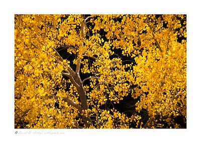 Aspen in Fall Colors