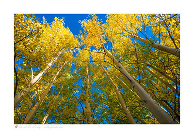 Aspens in Fall near Boreas Pass, CO