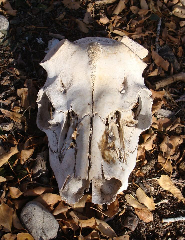 Steer Skull at the Ranch