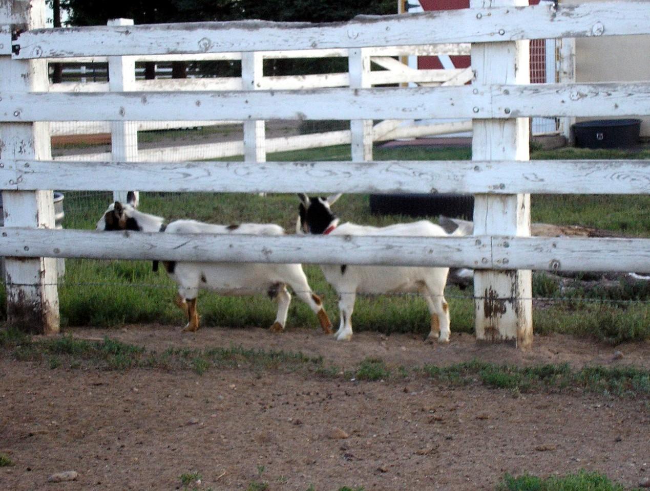 Neighbor's Goats