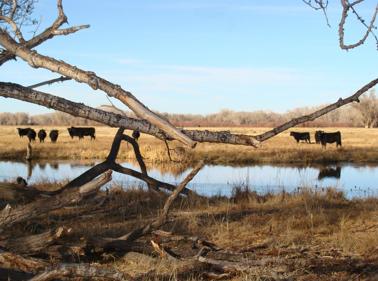 Cattle across the Creek