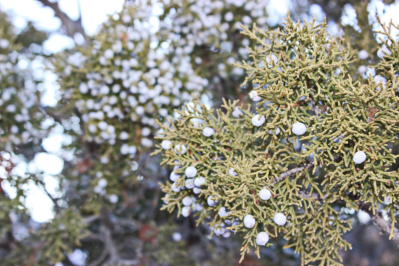 Utah Juniper Berries in Winter