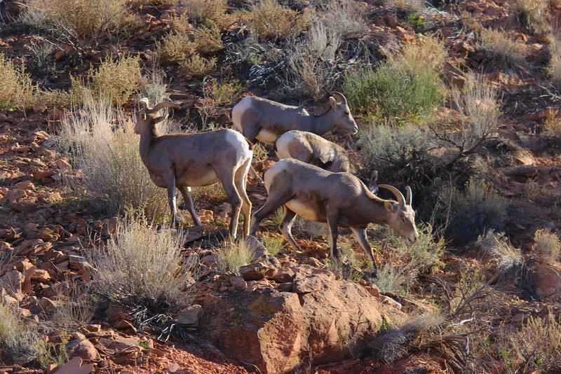 Desert Bighorn Sheep in Colorado National Monument
