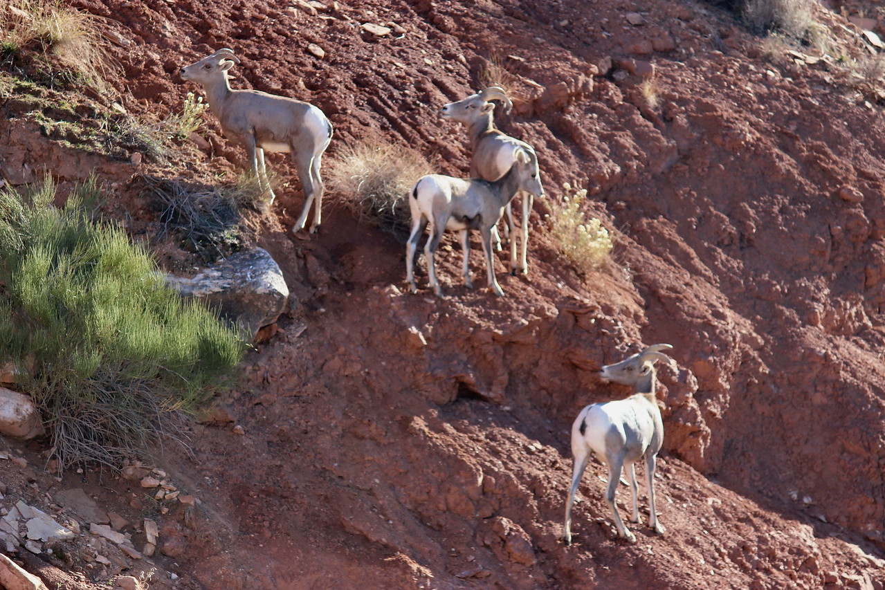 Desert Bighorn Sheep Graze the Hillside