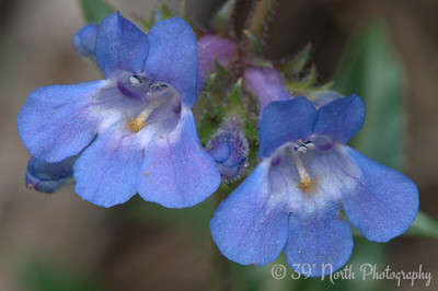 Bluemist Penstemon