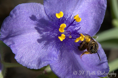 Spiderwort and friend