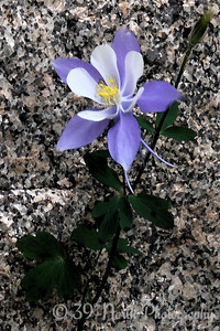 Tha last Columbine of the season