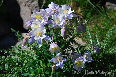 Colorado Columbine - Butler Gulch